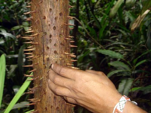 Los árboles espinosos son dolorosos (con rima y todo)