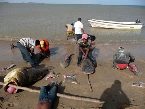 Hombres wayúu destripando tiburones