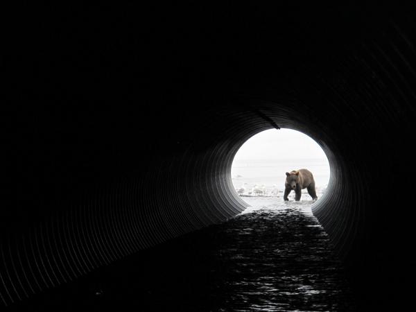Oso grizzlie a los pies de la ruta